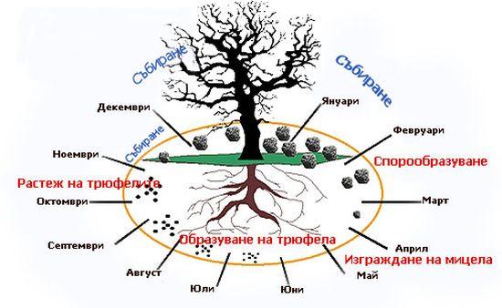 30 години след Чернобил – Европейските трюфели са чисти от радиоактивни изотопи