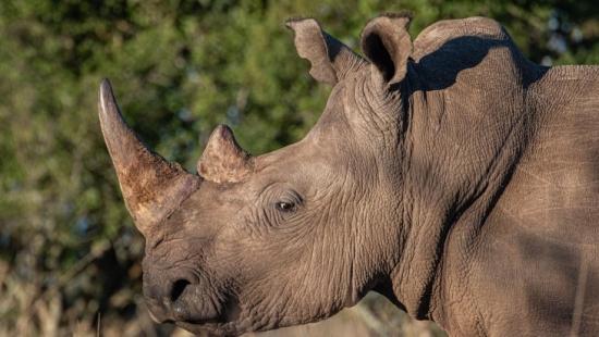 ЮАР – Проектът, основан на изотопи, има за цел да ограничи бракониерството на носорози